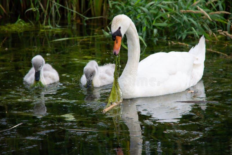 De zwaan met twee babys leert hoe te eten royalty-vrije stock foto