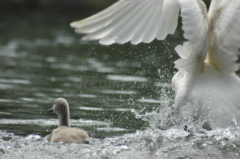De zwaan van de baby royalty-vrije stock fotografie