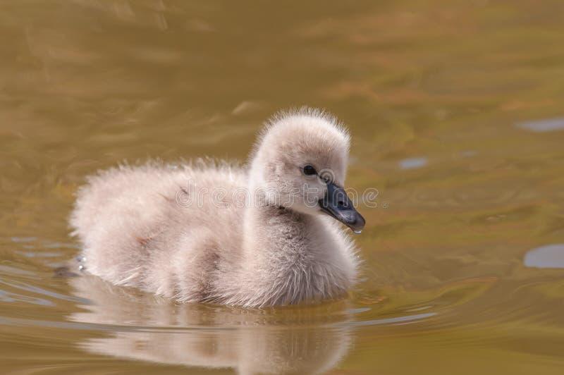 De zwaan van de baby royalty-vrije stock afbeelding