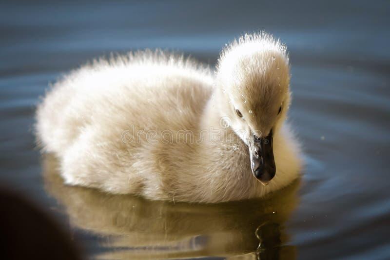 De zwaan van de baby op het water royalty-vrije stock fotografie