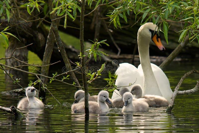 De Zwaan van de moeder en haar jonge zwanen stock fotografie
