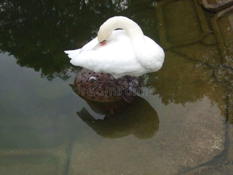 De zwaan verwarmt zijn bek Of hoe? royalty-vrije stock foto