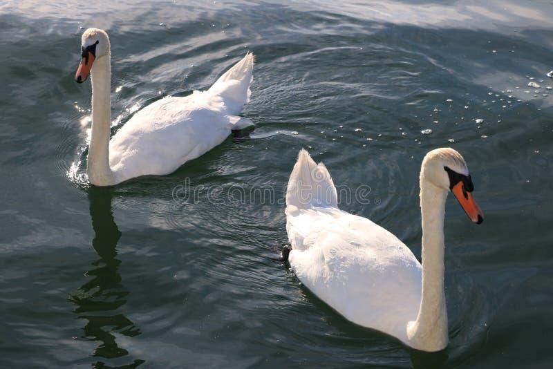 De zwaan zwemt op het water royalty-vrije stock afbeeldingen