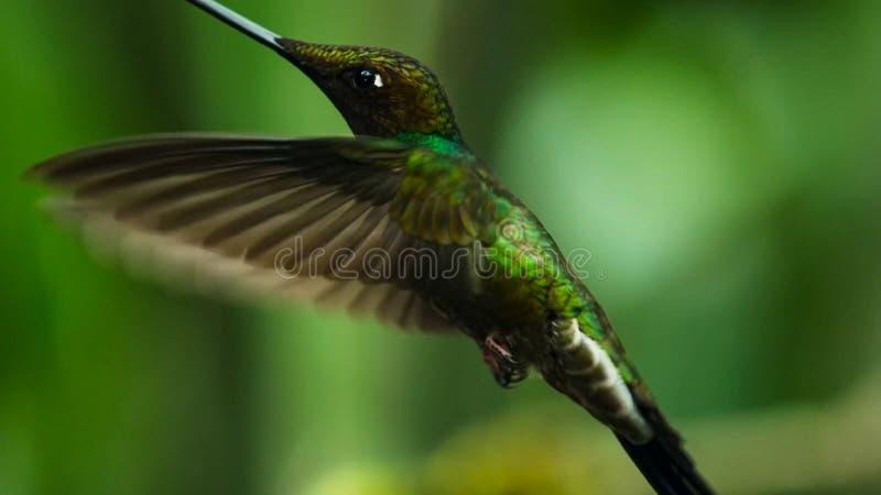 De zwaard-gefactureerde kolibrie is neotropical species van Ecuador, zwaard-gefactureerde kolibrie Hij stijgt en drinkt royalty-vrije stock afbeelding