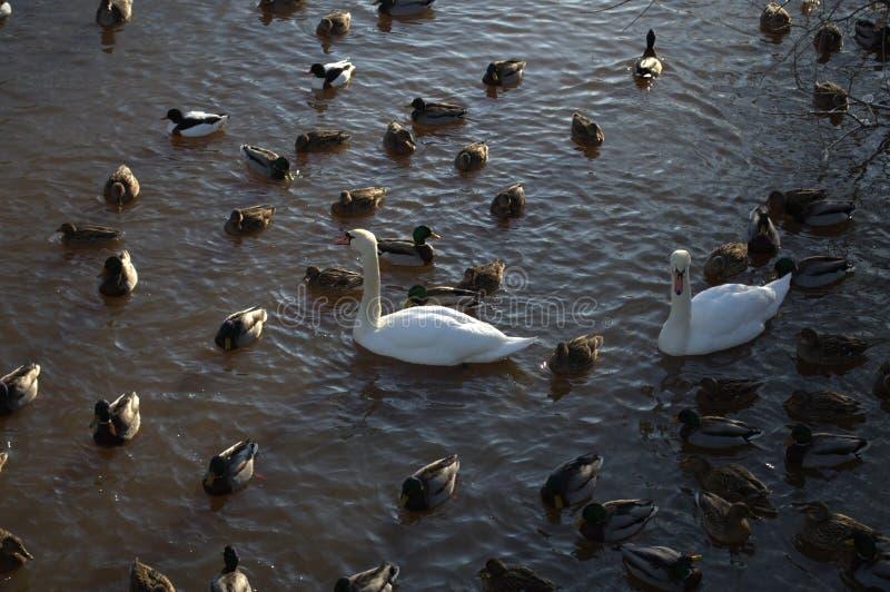 De zwanen en de eenden zwemmen in de vijver stock foto