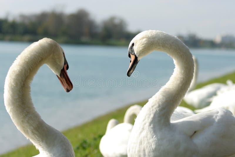 De zwanen van de liefde stock afbeeldingen