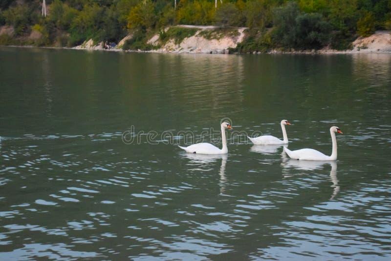 De zwanen zwemmen op het meer Meer met zwanen stock foto's