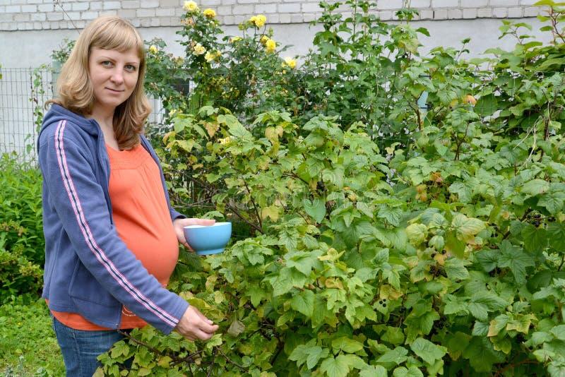 De zwangere vrouw verzamelt zwarte bes in een tuin royalty-vrije stock afbeeldingen