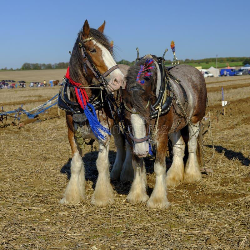 De zware Paarden die de concurrentie bij SCHHA - Zware jaarlijkse het Paardvereniging ploegen van de Zuidenkust - tonen dichtbij  royalty-vrije stock afbeelding