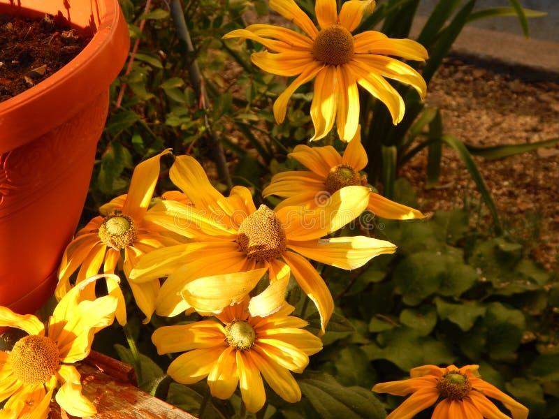 De zwart-eyed bloem die van Susan in Gheorgheni bloeien stock fotografie