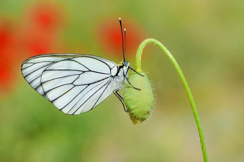 De zwart-geaderde witte vlinder, Aporia-crataegi royalty-vrije stock afbeeldingen