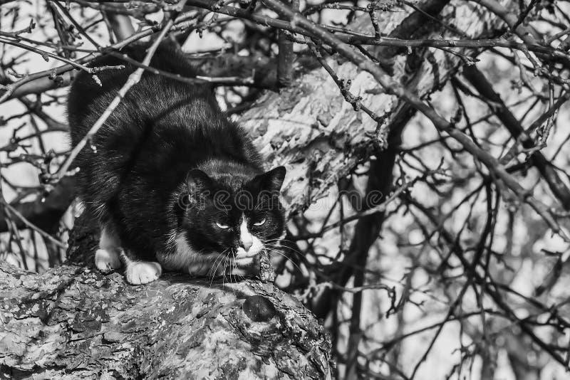 De zwart-witte foto van een zwart-witte mooie boze kat met grote ogen en de wildernis zien door elkaar gooien op een boom eruit royalty-vrije stock foto