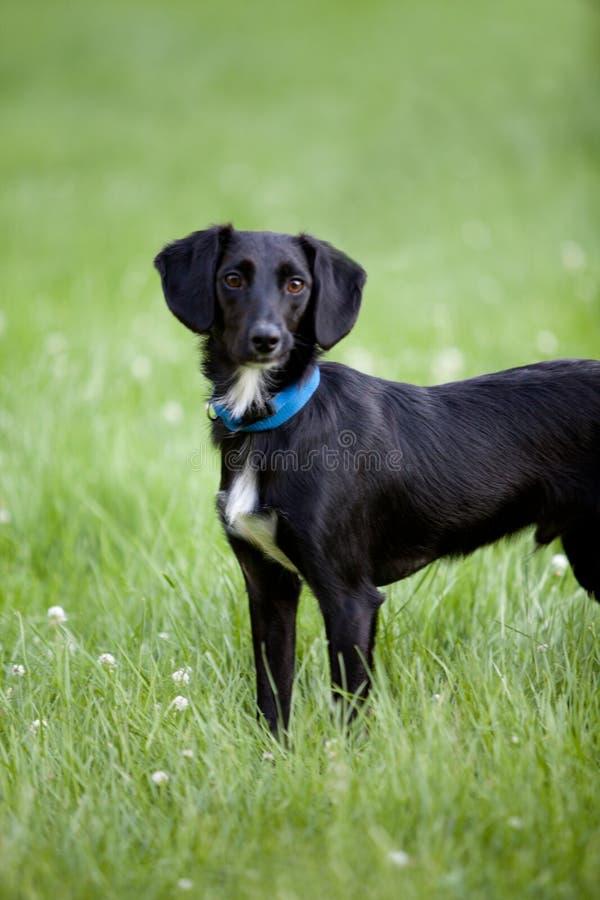 De zwart-witte hond die van de terriërmengeling zich in lang groen gras bevinden royalty-vrije stock fotografie
