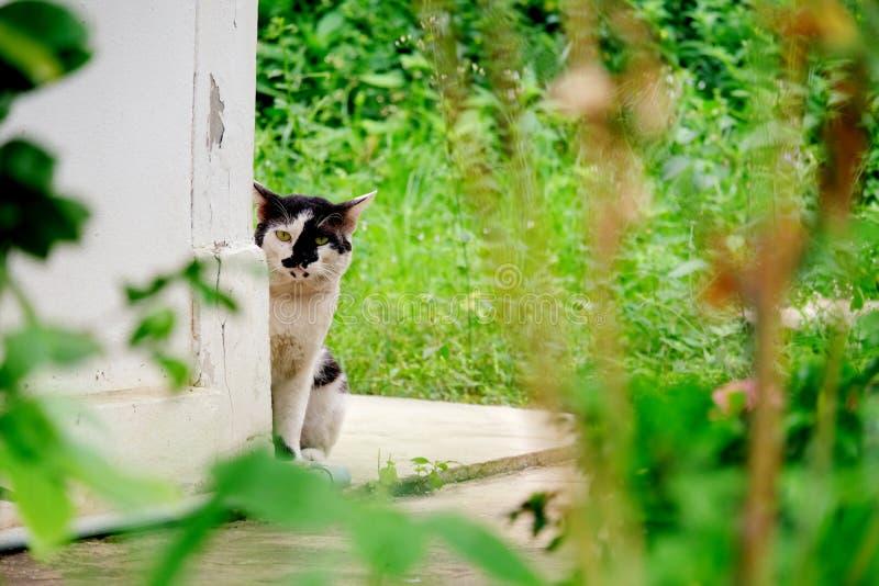 De zwart-witte kattenhuid en neemt achter de muurhoek heimelijk stock fotografie