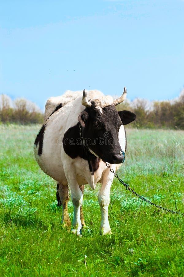 De zwart-witte koe weidt op een weide in het dorp royalty-vrije stock afbeeldingen