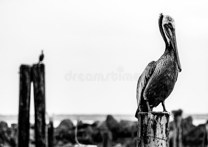 De zwart-witte pelikaan streek op een pijler pylon logboek neer met een andere in de afstand royalty-vrije stock foto's