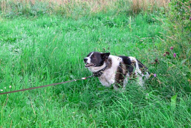 De zwart-witte Russische Oosteuropese Siberische Laika-wolfshond die shit iat bedekt gebied in park met gras pooping royalty-vrije stock afbeelding