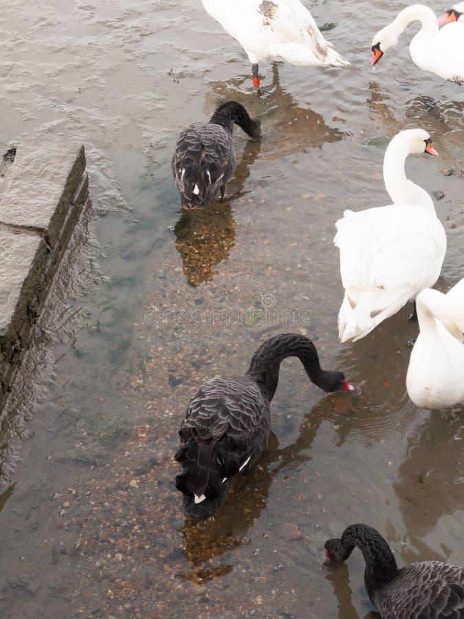 de zwart-witte stodde zwanen sluiten omhoog onder het voeden stock foto's