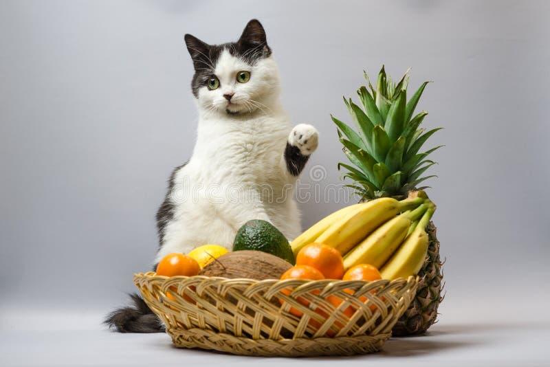 De zwart-witte vette kat hief een poot over een mand tropische vruchten op stock afbeeldingen