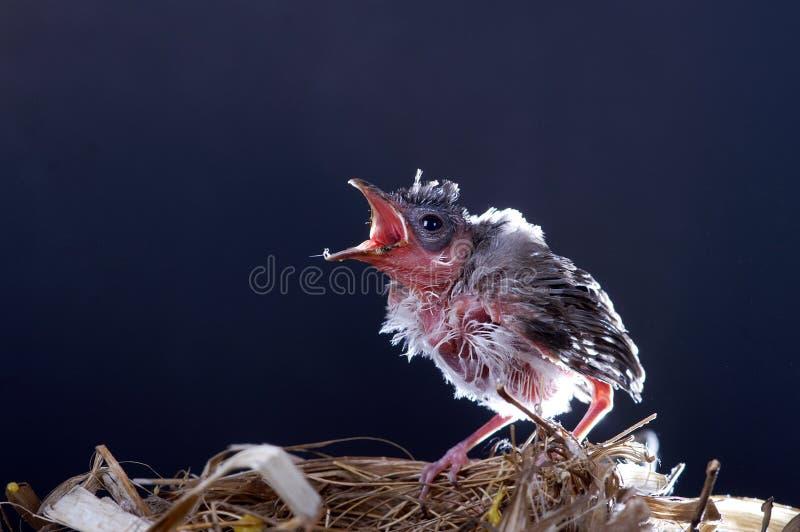 De zwarte achtergrond van de vogel royalty-vrije stock afbeeldingen