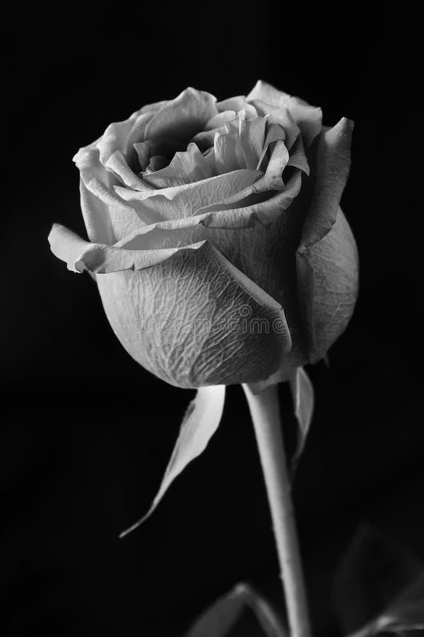 De Zwarte Achtergrond van Rose Black And White On stock foto's