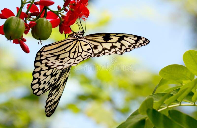 De zwarte & Witte Vlinder van de Nimf van de Boom, de Ruimte van het Exemplaar stock foto's
