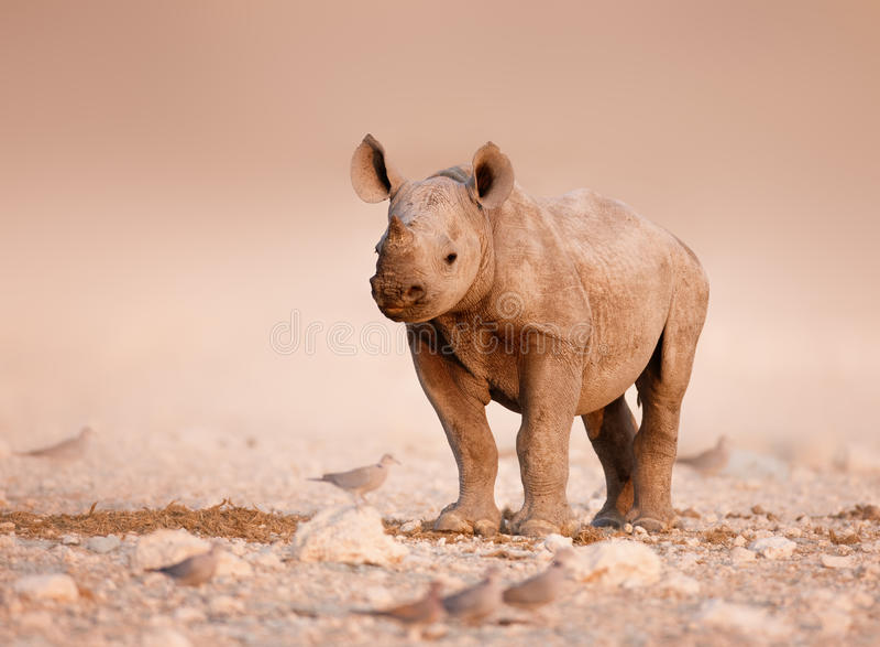 De zwarte baby van de Rinoceros stock foto