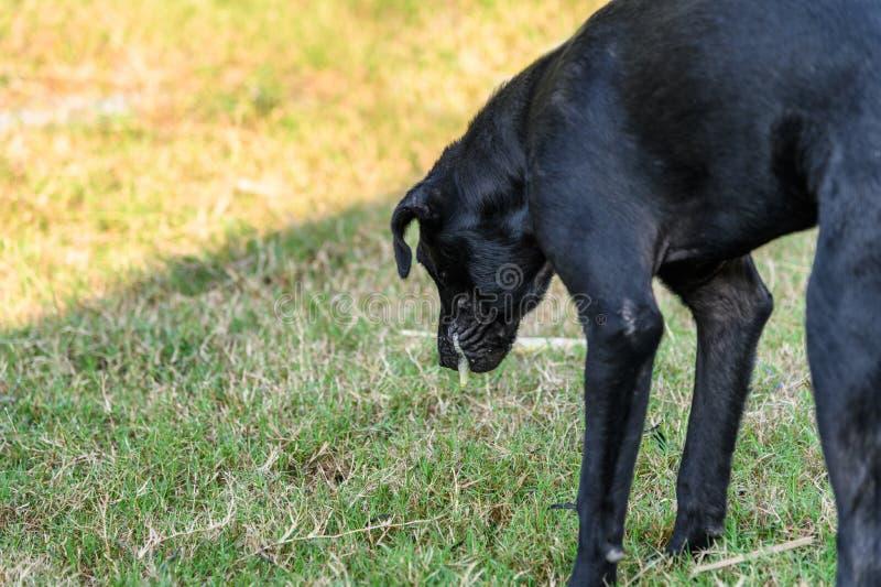 De zwarte binnenlandse hond is braakt slijm royalty-vrije stock foto