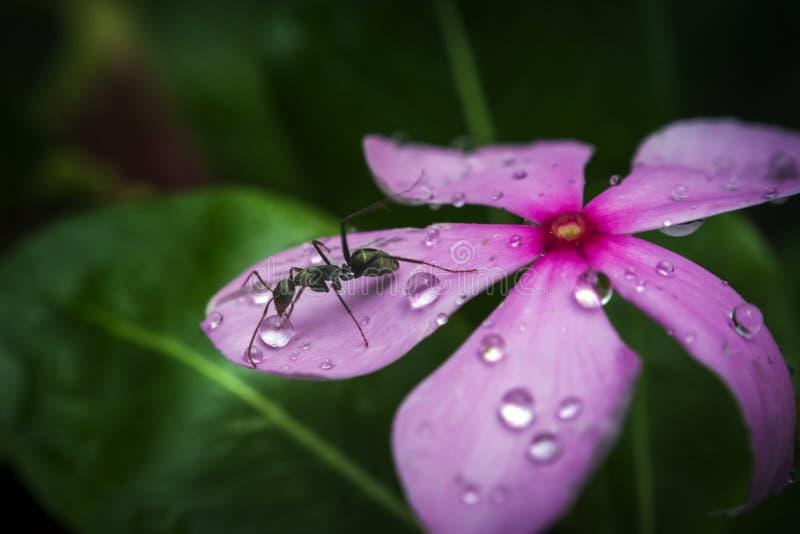 De zwarte daling van het mieren drinkwater van een bloem stock foto