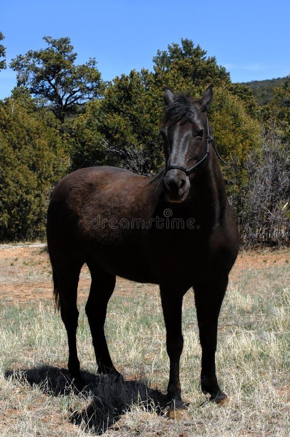 De zwarte Draver van de Vos stock foto