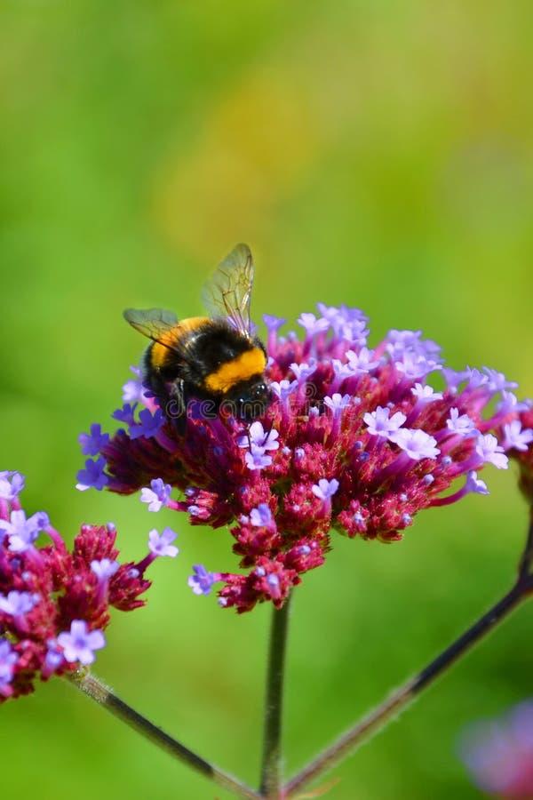 De zwarte en gele bescheiden bij verzamelt nectar op een violette rode bloem Het verticale beeld heeft groene achtergrond vertroe stock fotografie