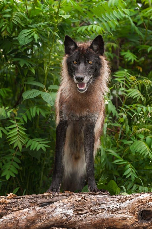 De zwarte Fase Grey Wolf (Canis-wolfszweer) kijkt vooruit op Logboek royalty-vrije stock afbeeldingen