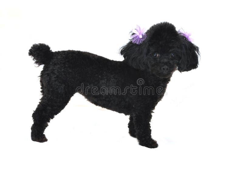 De zwarte Geïsoleerdee Poedel van het Stuk speelgoed royalty-vrije stock foto