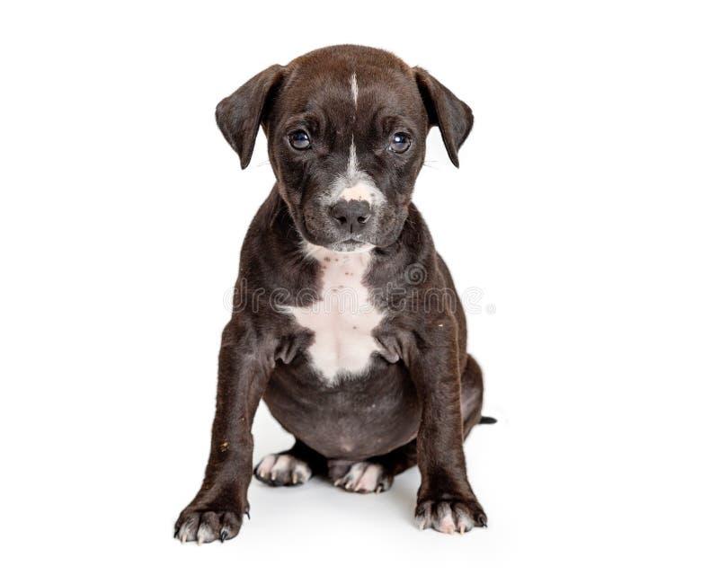 De zwarte Gehaalde Zitting van de Puppy Witte Borst - stock fotografie