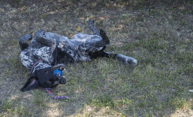 De zwarte grijze whippet van de jachthondkruising en labradorit het liggen in gras, playig met bal, selectieve nadruk stock afbeeldingen