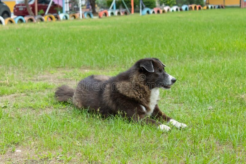 De zwarte hond die op het gazon leggen stock foto's