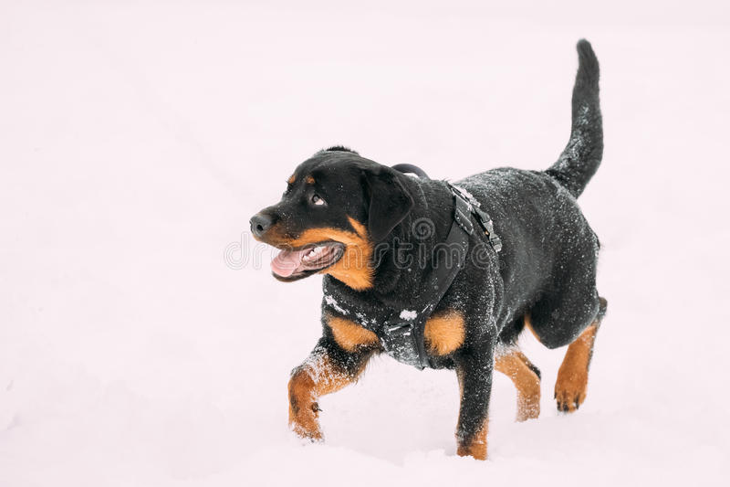 De zwarte Hond die van Rottweiler Metzgerhund tijdens Opleiding lopen De winter royalty-vrije stock afbeeldingen