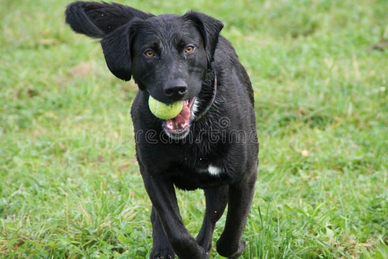 De zwarte hond ging zwemmend en speelt met een bal royalty-vrije stock fotografie