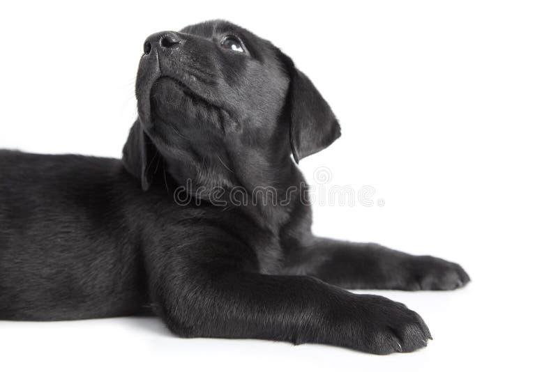 de zwarte hond labrador van het puppy royalty vrije stock afbeeldingen afbeelding 13453409. Black Bedroom Furniture Sets. Home Design Ideas