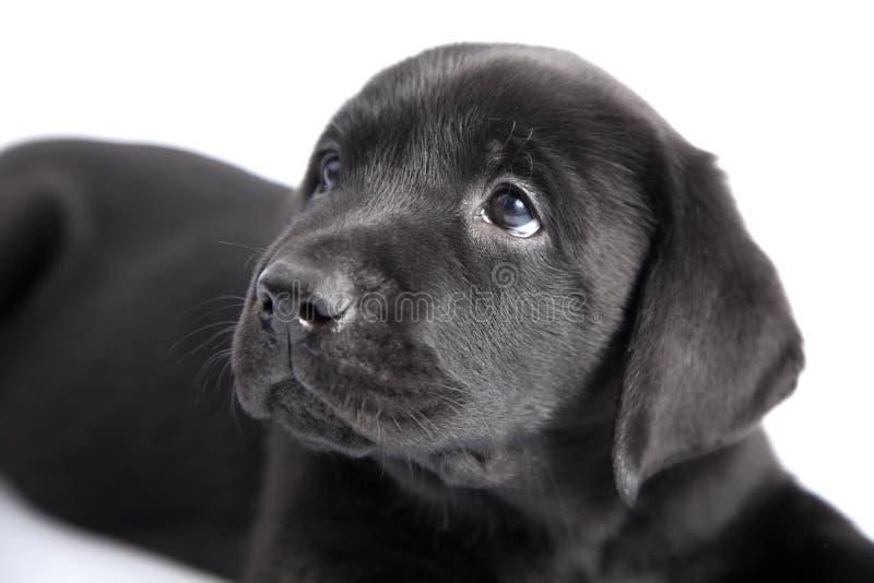 de zwarte hond labrador van het puppy stock afbeelding afbeelding bestaande uit retriever. Black Bedroom Furniture Sets. Home Design Ideas