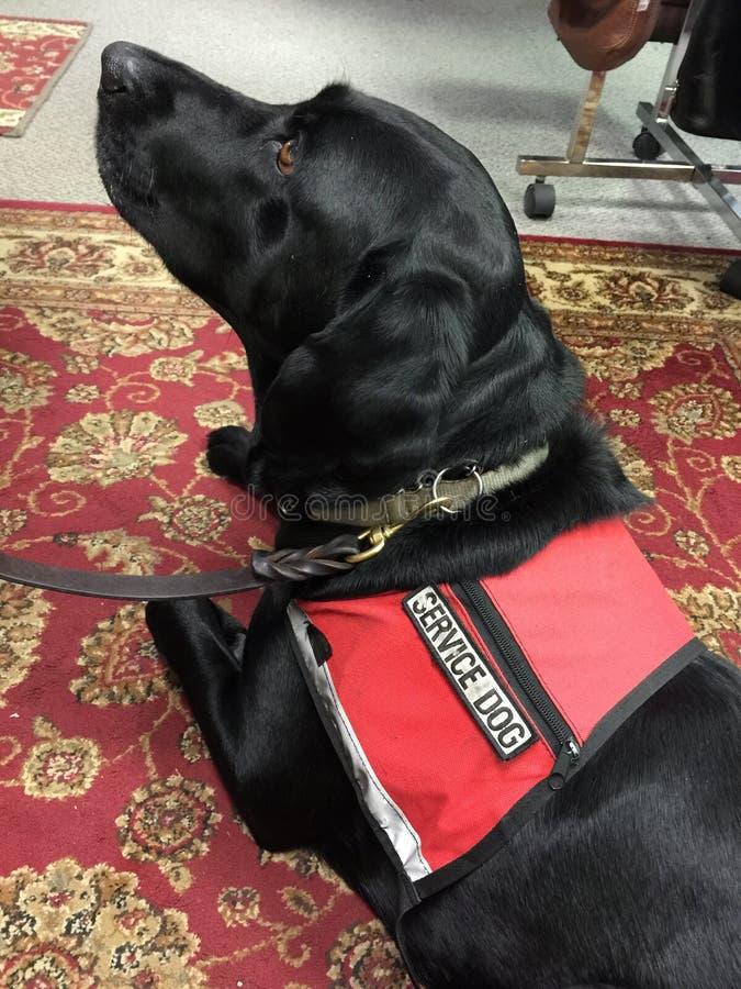 De zwarte hond van de laboratoriumdienst royalty-vrije stock afbeeldingen