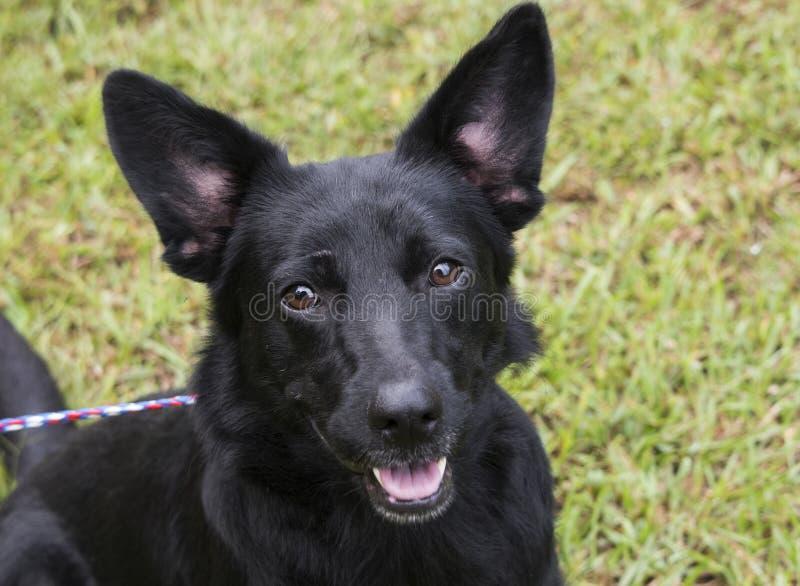 De zwarte hond van de Duitse herdermengeling met afluisteraar stock afbeelding