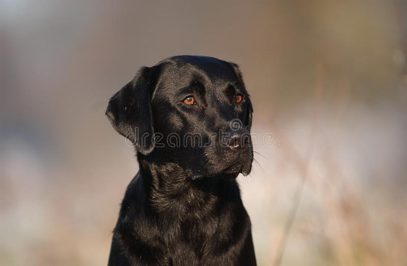 De zwarte hond van Labrador royalty-vrije stock foto