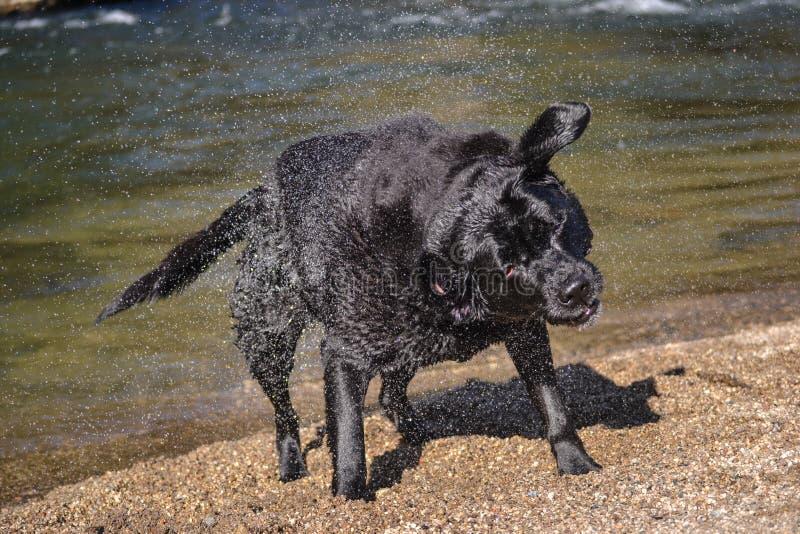 De zwarte hond van Labrador schudt water stock fotografie