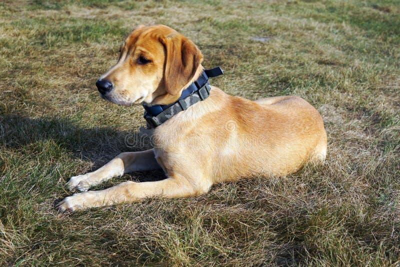 De zwarte hond van de Mondstraathond ligt op het Gras van het Platteland royalty-vrije stock fotografie