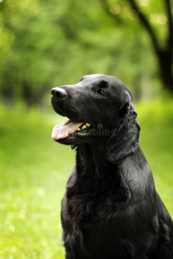 De zwarte hond vlak-met een laag bedekte Retrieverzomer die in openlucht eruit zien royalty-vrije stock fotografie