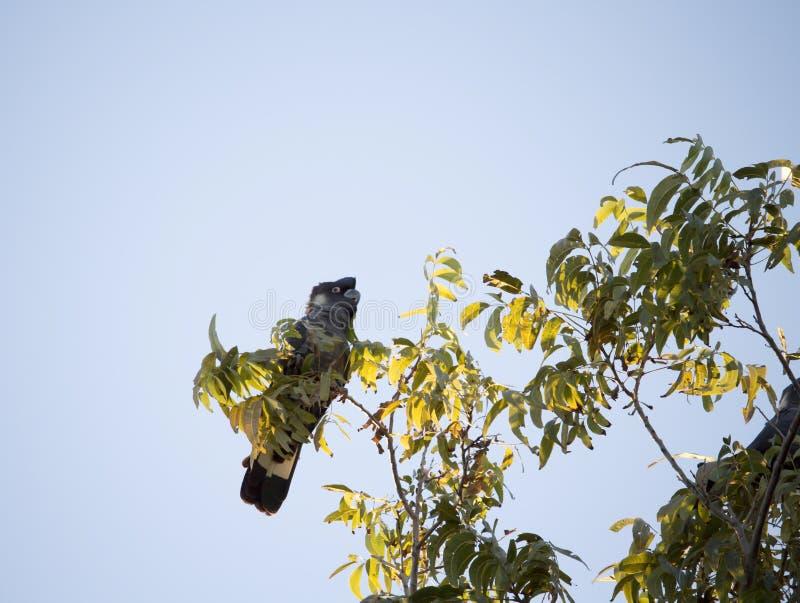 De Zwarte Kaketoe van Carnaby in de boom van de Pecannootnoot in vroege ochtend in de herfst royalty-vrije stock afbeeldingen