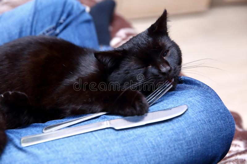 De zwarte kat houdt van met een mes en een vork te eten omdat hij van mening is dat hij een lid van deze familie voor goed is gew royalty-vrije stock afbeelding