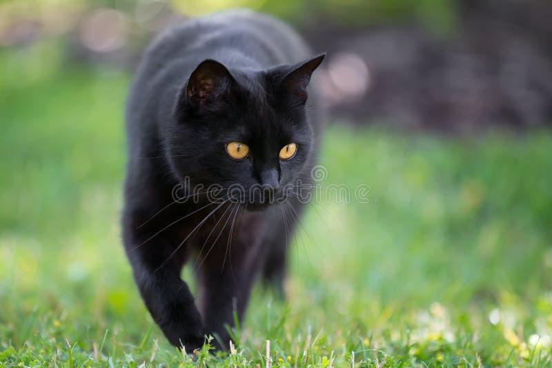 De zwarte kat loopt door het gras stock afbeeldingen