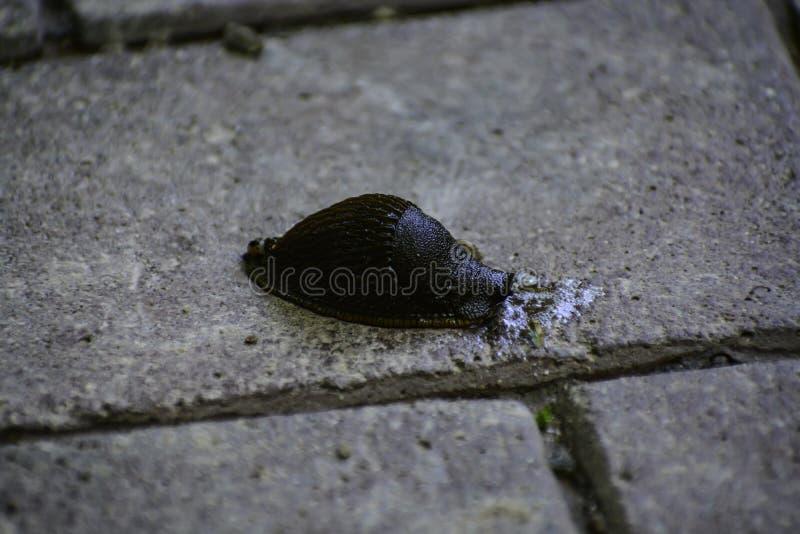De zwarte naaktslak ( arion ater) komt uit uit gras aan weg stock foto